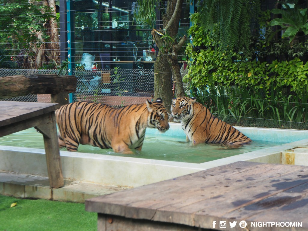 tiger kingdom chiang mai thailand คุ้มเสือ15