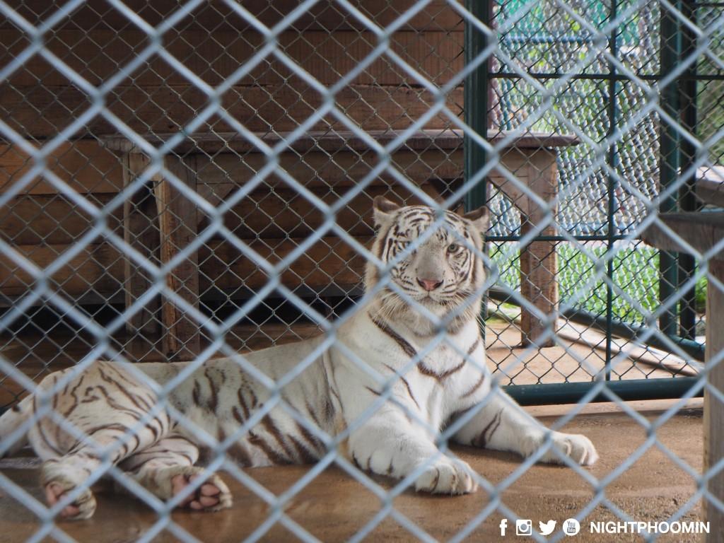 tiger kingdom chiang mai thailand คุ้มเสือ16