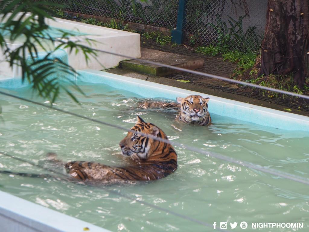 tiger kingdom chiang mai thailand คุ้มเสือ17