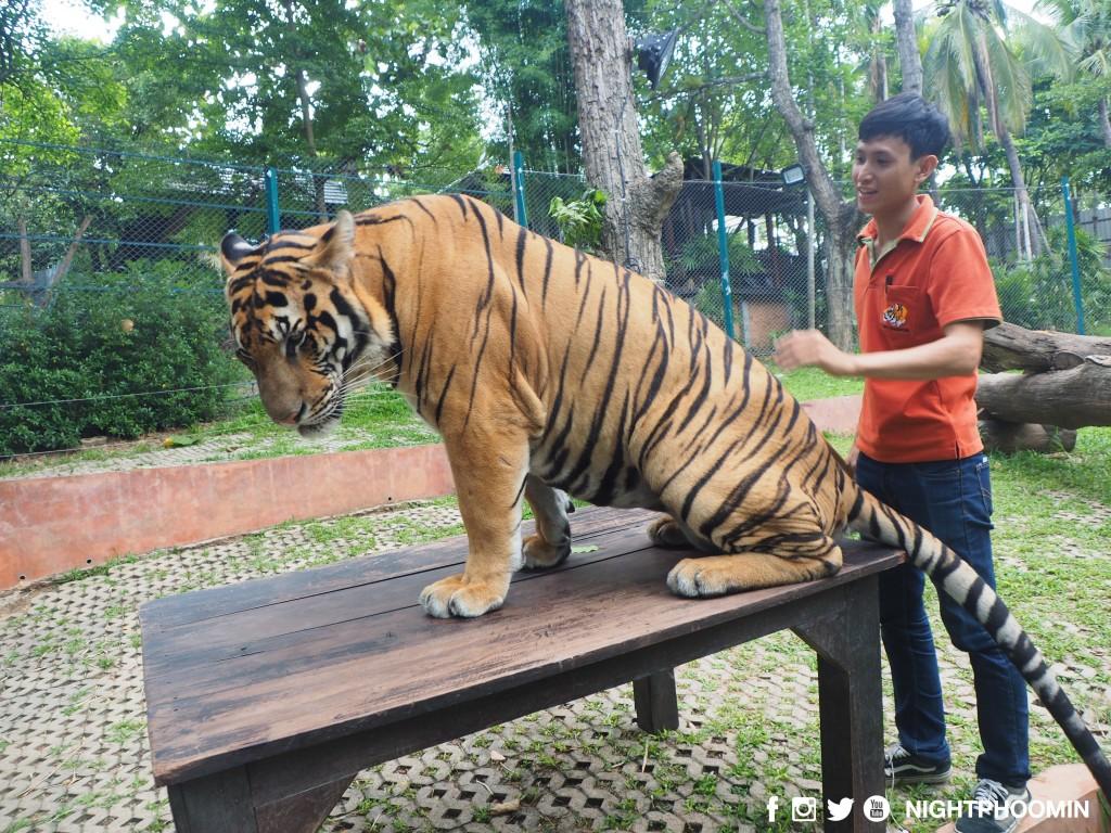 tiger kingdom chiang mai thailand คุ้มเสือ18