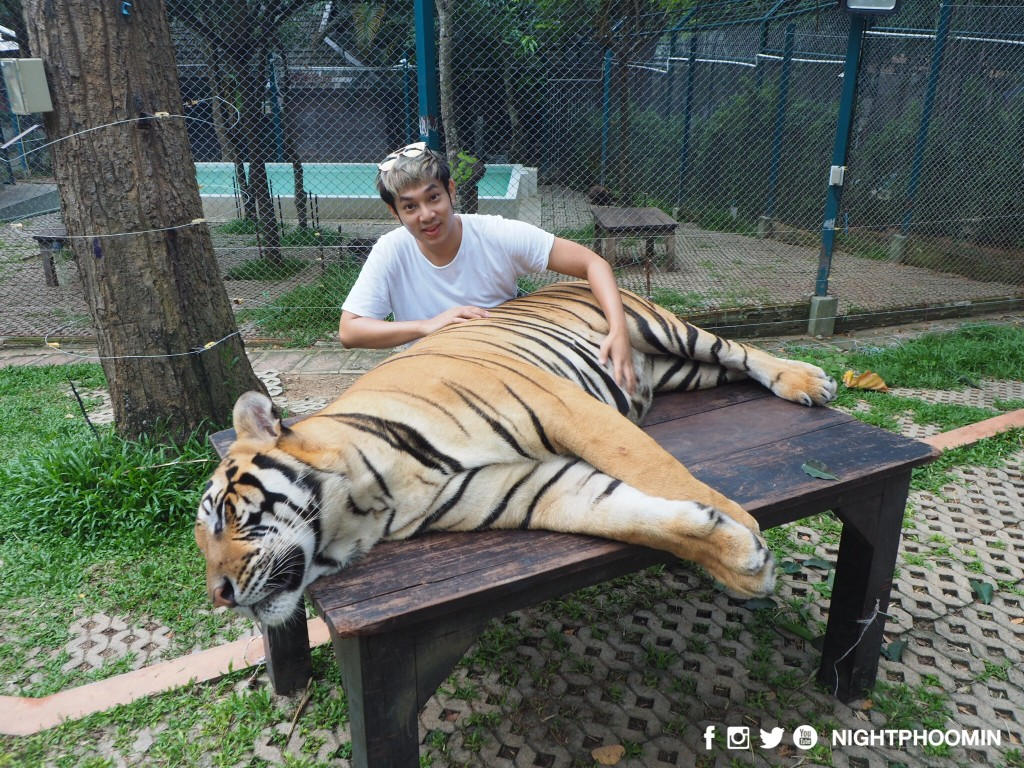 tiger kingdom chiang mai thailand คุ้มเสือ2