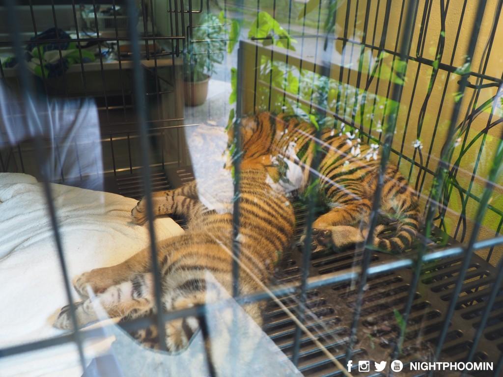 tiger kingdom chiang mai thailand คุ้มเสือ4
