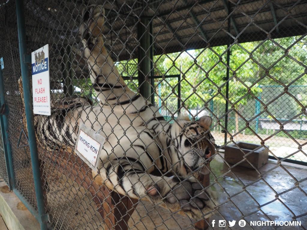 tiger kingdom chiang mai thailand คุ้มเสือ7